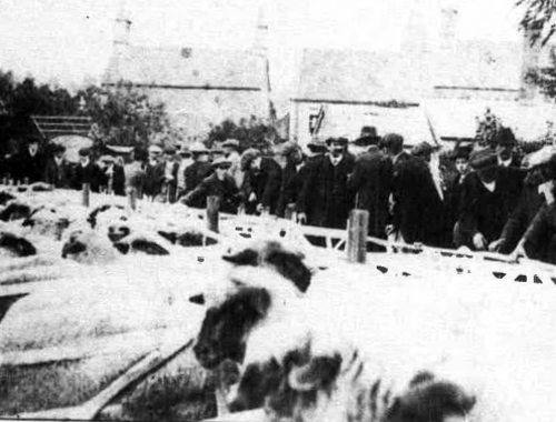 Shipton livestock sale, 1930's, held regularly at the back of the Crown Inn, now the vegetable garden and bowling green